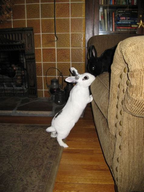 house rabbit living with a house rabbit