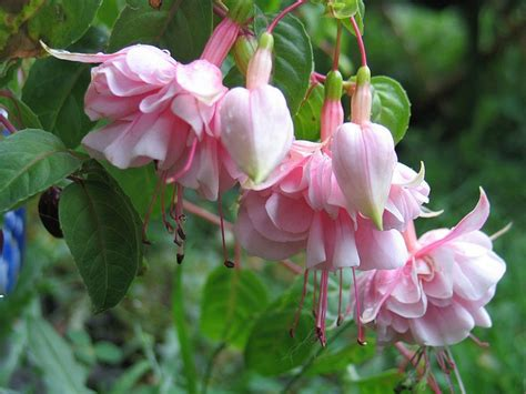 pin by sue davenport on my fuchsias pinterest