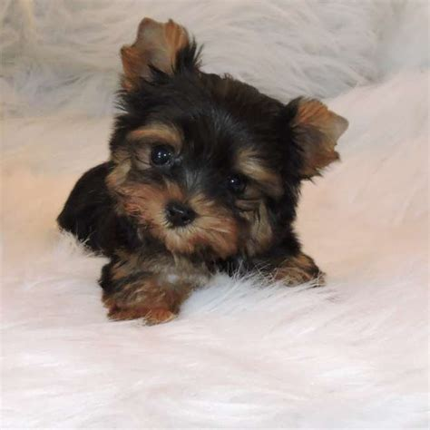 micro yorkies for sale micro yorkie puppy for sale bradley teacup yorkies sale