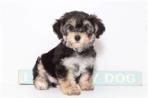 morkie puppies for sale in florida view ad morkie puppy for sale florida naples usa