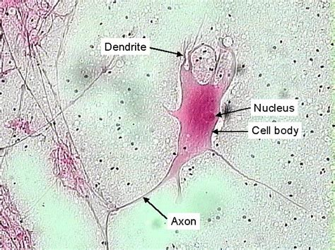 nervous tissue labeled diagram nerve tissue