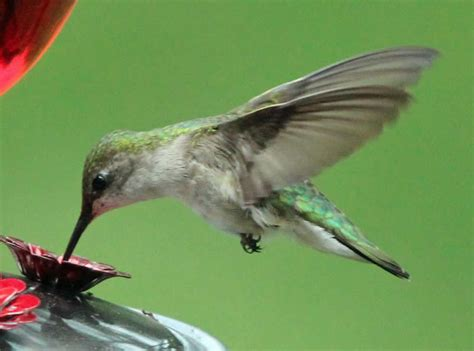 hummingbird migration update spring 2012 journey north