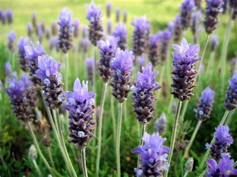 fiori lavanda lavanda fioritura fiori delle piante fioritura della