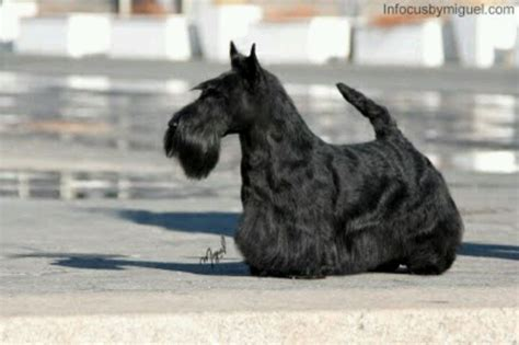 different cuts for scotties scottie scottish terrier grooming at www scottish terrier