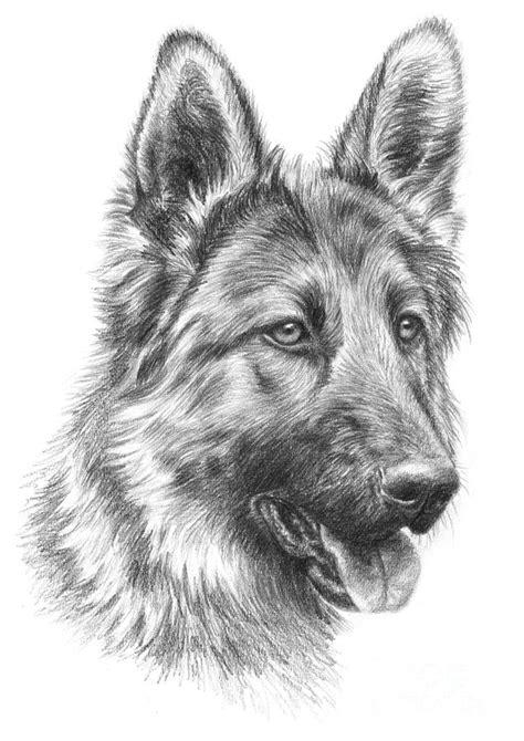 german shepherd drawing german shepherd drawing by tobiasz stefaniak