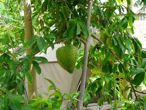 graviola tree fruit where to buy soursop soursop plant jim s yard trees