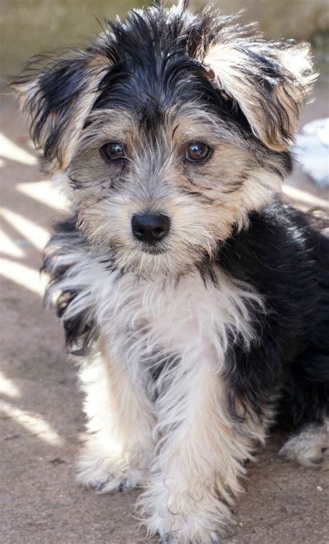 yorkie cross maltese cross maltese yorkie morkie wanted to leeds west pets4homes
