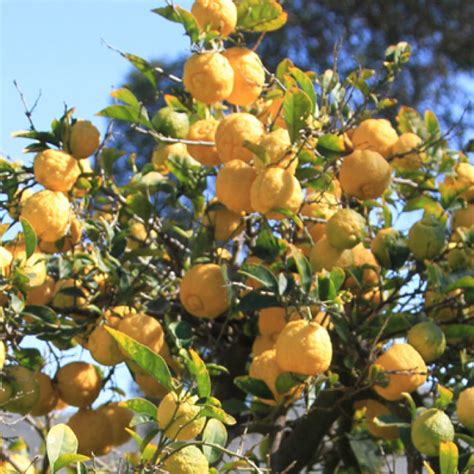 california tree fruit southern california gardening make winter the prettiest