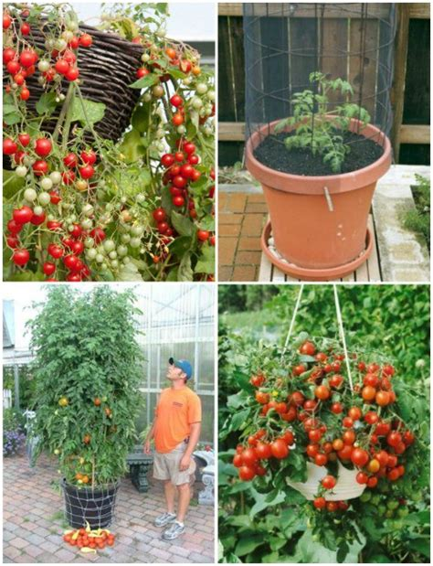 tomato container gardening ideas home vegetable garden in pots www pixshark images