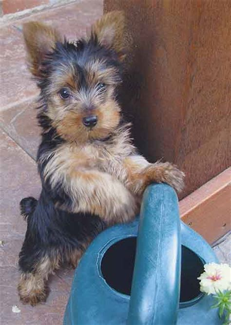 everything yorkie top dogs oh yorkie american kennel club
