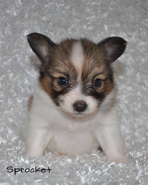 corgi puppies for sale in missouri puppies for sale missouri