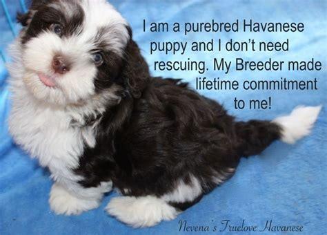 havanese size comparison 17 best ideas about havanese puppies for sale on havanese puppies