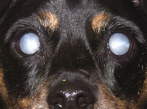puppy cataracts current concepts progress notes