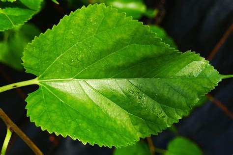 buy mulberry leaf tea benefits how to make side effects herbal teas online