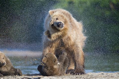 wallpaper brown bear wild animals rain  animals