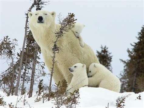 oso polar oso polar oso polar