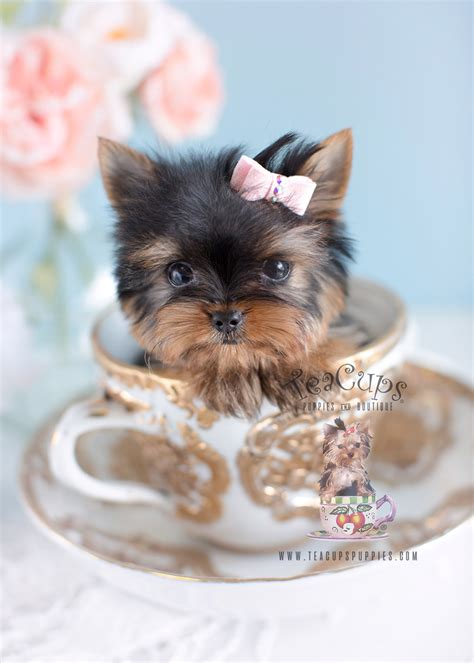teacup yorkie collars yorkie puppies south florida teacups puppies boutique