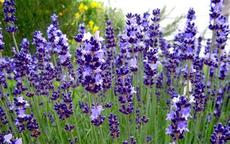 wann lavendel schneiden frühjahr lavendel pflanzen dr schweikart bilderrahmen ideen