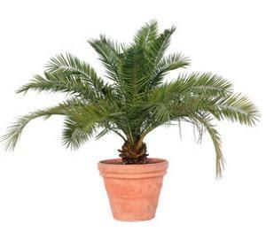 palmier d int 233 rieur plantes du jardin et de la