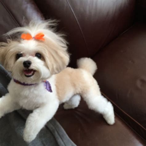 dog haircuts chicago maltipoo hairstyles hairstyles