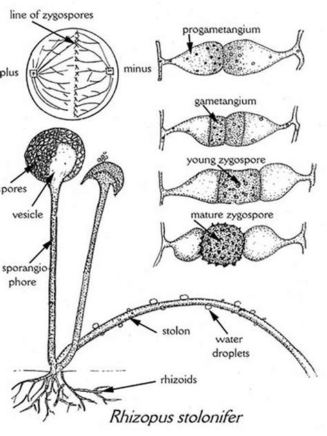 diagram of bread mould rhizopus stolonifer gallery