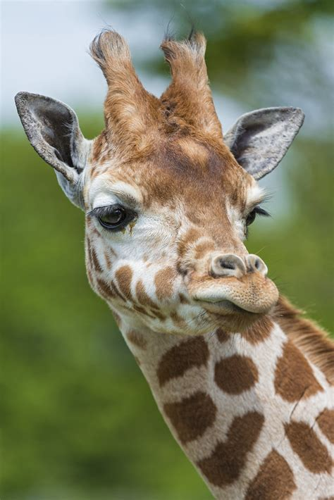 funny giraffe    side  expression