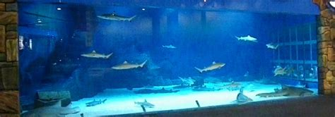 Small Saltwater Sharks For Home Aquariums Home Aquarium Small Sharks Www Pixshark Images