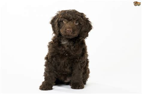 sproodle puppies sproodle breed information buying advice photos and facts pets4homes
