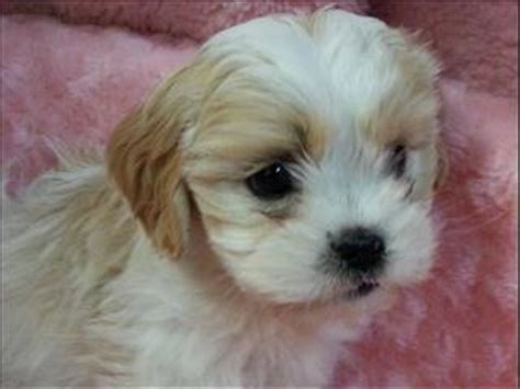 shih tzu x cavalier view all dogs for sale in australia