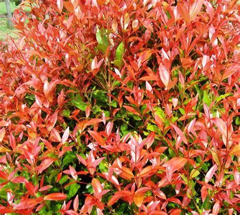 Benih Bunga Calendula Officinalis Flower Marigold Mudah Tumbuh benih pucuk merah