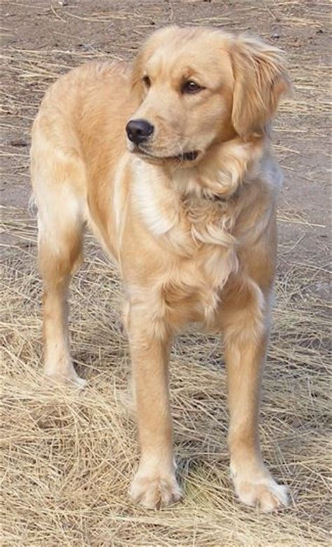is there a miniature golden retriever best 25 mini golden retriever ideas on golden retriever poodle mix