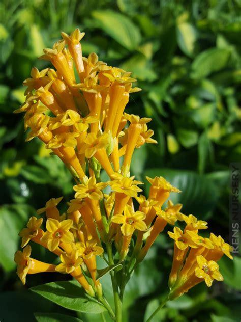 Indoor Decorative Plants Appealing Orange Zest Cestrum Aurantiacum Kens Nursery