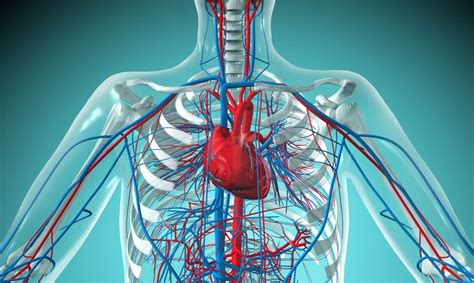overview   cardiovascular system components