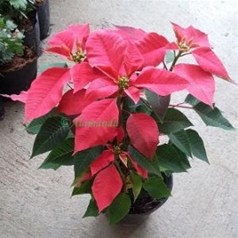 jual tanaman hias kastuba merah hp