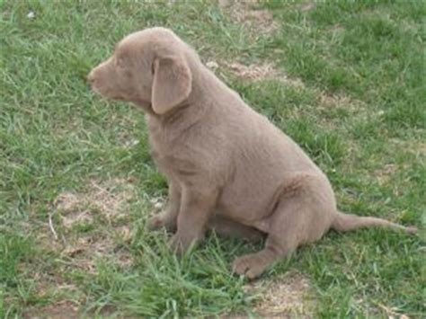 silver lab puppies for sale in alabama labrador retriever puppies in iowa