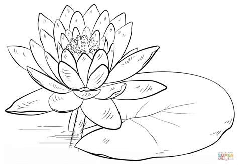 coloring page water lily water lily and pad coloring page free printable coloring
