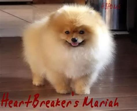 pomeranian teacup puppies white pomeranian white teacup pomeranian puppies for sale puppy los angeles pomeranians