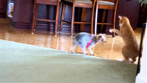 yorkie vs cat opie the cat and teeka the yorkie a cat vs play time part 2 funnydog tv