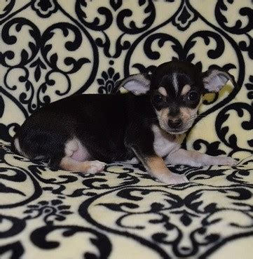 chihuahua puppies for sale in md chihuahua puppy for sale tallulah deposit only puppies and pet supplies