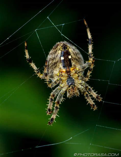 Garden Spider Underside Garden Spider Underside Photorasa Free Hd Photos