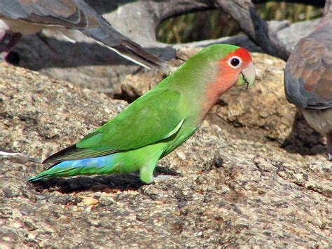 rosy faced lovebird wikipedia