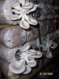 Bibit Jamur Tiram Di Surabaya jamur tiram jamur tiram usaha jamur tiram