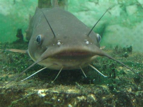 cucinare pesce gatto pesce gatto pesci acquario caratteristiche pesce gatto