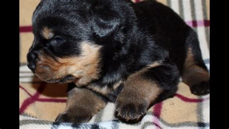 2 week rottweiler puppy rottweiler puppies for sale born 5 1 16 at 2 weeks slide show c r family