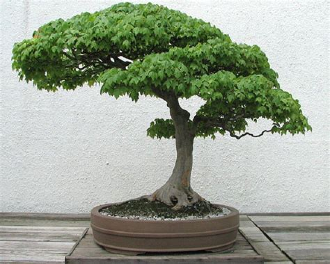 bonzi tree bonsai tree wallpapers wallpaper cave