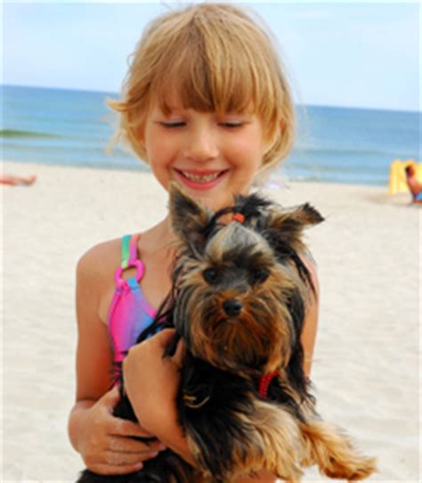 best way to house a yorkie puppy teacup terrier learn all about teacup terriers