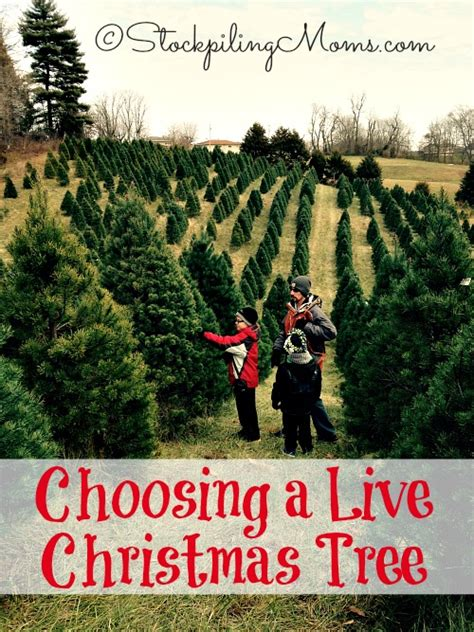 how do you choose a live christmas tree