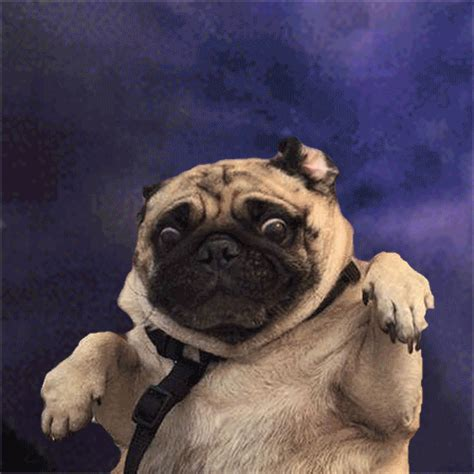 pug paint me like psbattle terrified pug rebrn