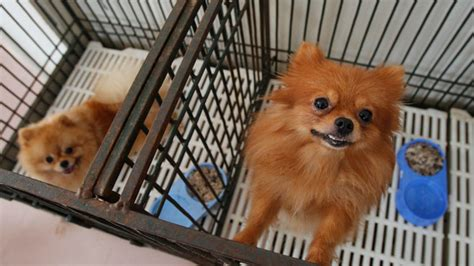 pomeranian puppies for sale in nh baby pomeranian puppies