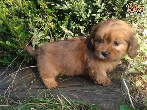 miniature lhasa apso puppies for sale mini daxi x lhasa apso pup norfolk pets4homes